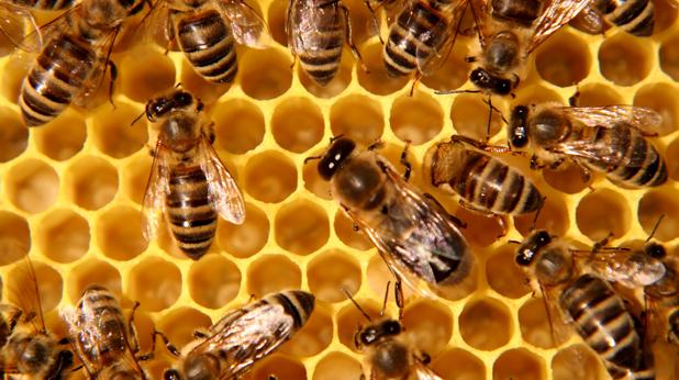 пчели 1