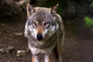 вълк 2