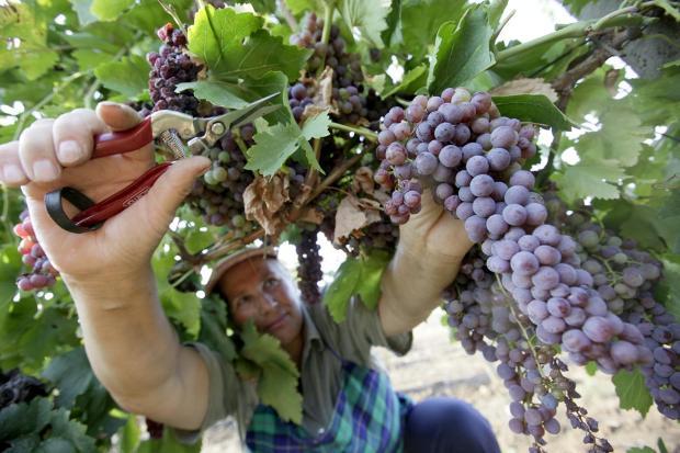 гроздобер