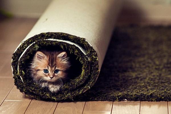 котенце в килим