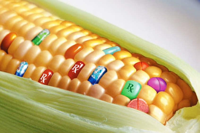 ГМО царевица 1