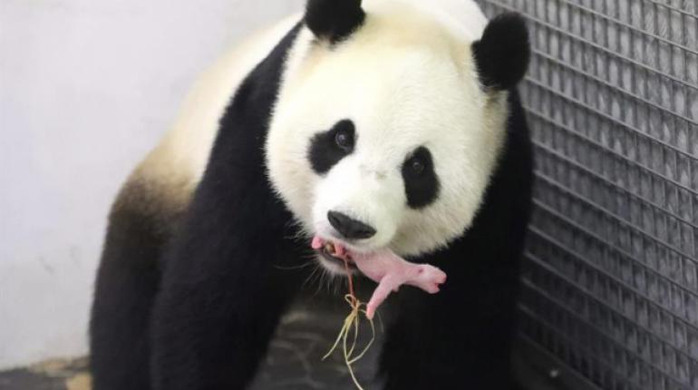 пандата Хао Хао 1